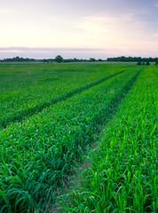 sunset over green rye field
