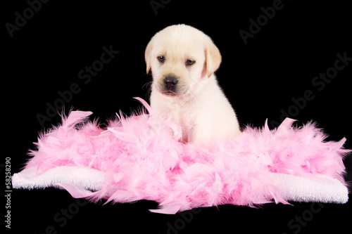 Tired labrador puppy sit on pink feathers