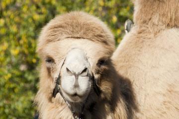 Морда верблюда крупным планом