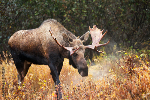 Moose Bull blowing some Steam, Male, Alaska, USA