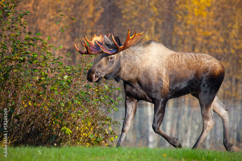 Poster Moose Bull Walking, Male, Alaska, USA