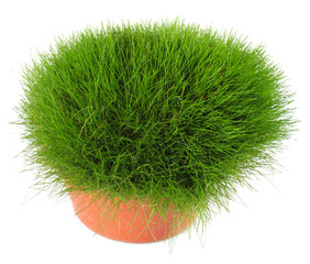 Beautiful green grass in flowerpot, isolated on white