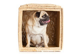 pug dog in box isolated on white background