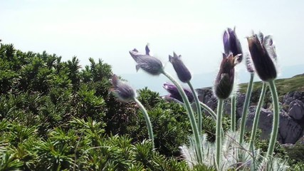 Pulsatilla patens in Crimea mountains