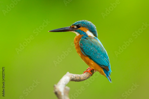 Close up of Common kingfisher