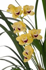 Yellow Orchid flowers over white (Cymbidium sp)