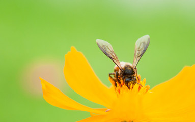 Bee on pollen of yellow flower