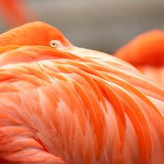 Close up feathers of flamingo