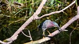 Green Heron  - Everglades NP