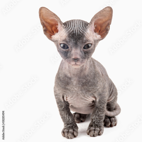 Black sphynx kitten isolated on white background