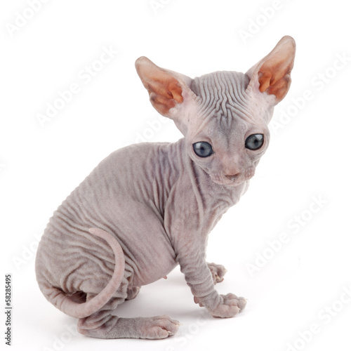 Sphynx kitten isolated on white background