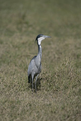 Black-headed heron, Ardea melanocephala