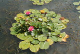 Flowering Water Lily Plants on an Ornamental Pond.
