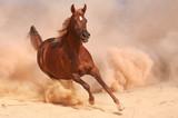 Purebred arabian horse running in desert - 58293261