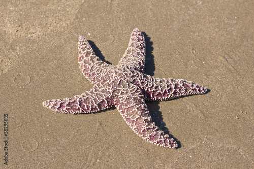 Pacific Starfish on the beach 1