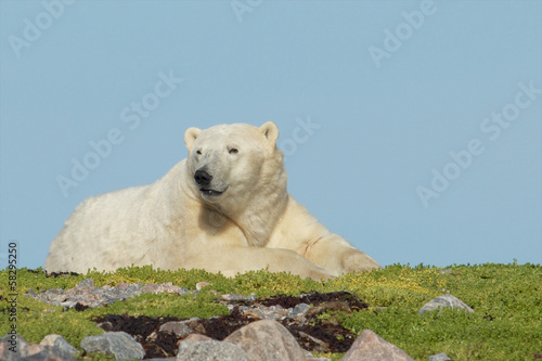 Wary Polar Bear on a grassy knoll