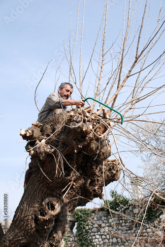 Friulian Farmer Sawing Mulberry Tree