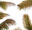 assortiment de palmes de cocotier sur fond blanc