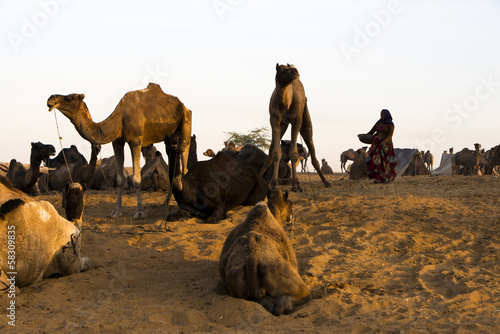 Camels at Pushkar Camel Fair, Pushkar, Ajmer, Rajasthan, India