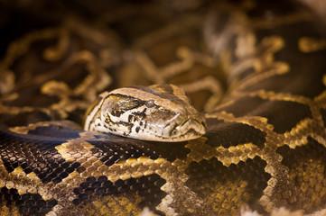 Python royal