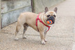 French Bull Dog with ball
