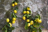 Lemons hanging on a wall, Ravello, Amalfi Coast, Salerno, Campania, Italy