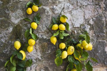Lemons hanging on a wall, Ravello, Amalfi Coast, Salerno, Campania, Italy
