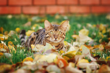 Bengal cat lying in autumn leaves