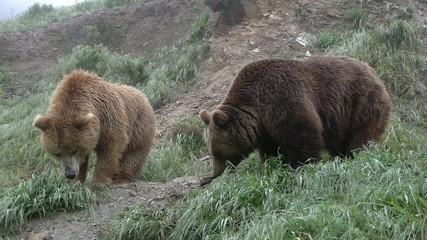 osos pardos en el prado verde