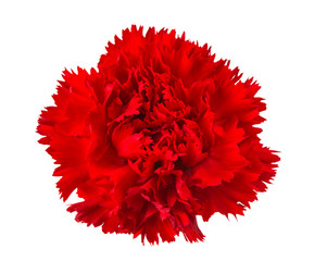 carnation flower isolated