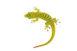 Madagascar day gecko on white background.