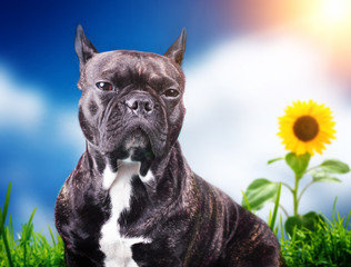 French bulldog on the blue background