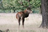 Wild Red deer stag in Bushy Park