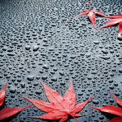 Water drops on polished car paint with red leafs