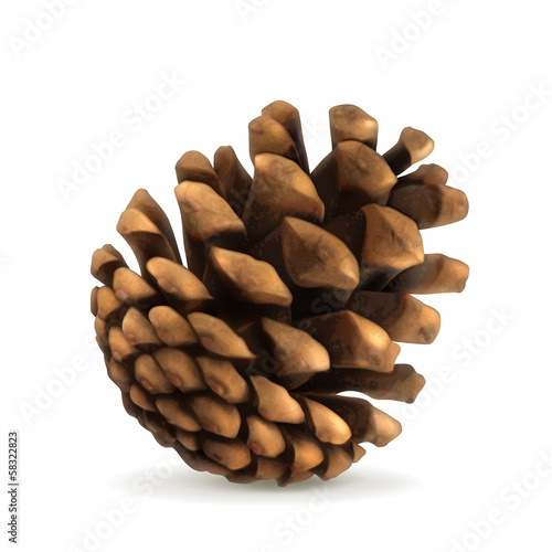 Pine cone illustration