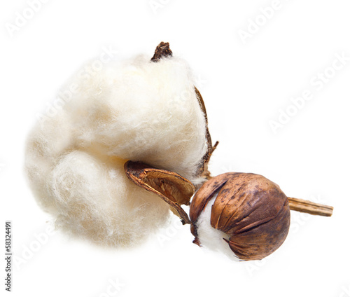 Cotton plant flower on white background