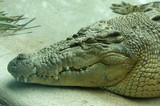Saltwater Crocodile Resting poster