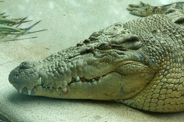 Saltwater Crocodile Resting