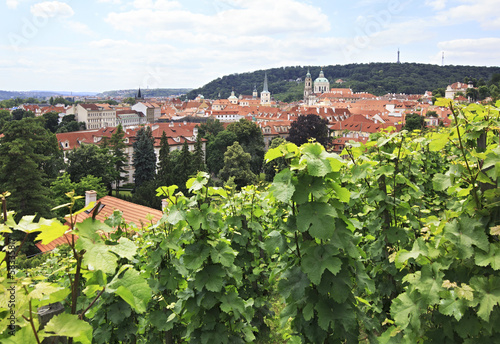 Vine on the hills in the center of Prague.