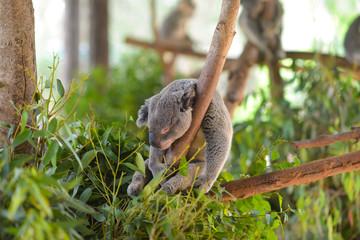 A koala sleeps on a branch of a eucalyptus tree