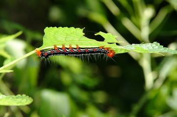 ノカラムシの葉を食べる蝶の幼虫