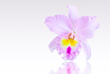 Pink orchid isolated on gray
