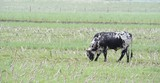 Nguni Bull in a field of maize stubble, kwazulu Natal,