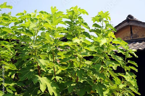 Fig tree-1