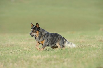 pedigree Australian Cattle Dog stud