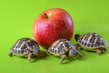 Pomme rouge VS bébé tortues hermann