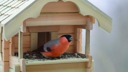 Bullfinch eating sunflower seeds from a bird feeder