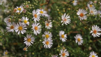 Abeja y mosca  entre flores margaritas