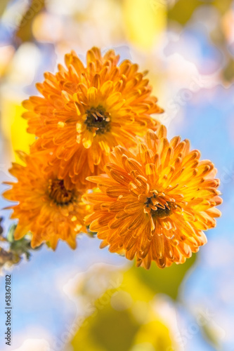 Three orange chrysanthemums