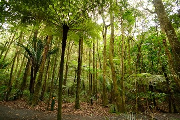 Forest of ferns, giant redwoods and kauri, Trounson Kauri Nation